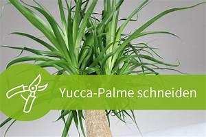Yucca Palme Winterhart : yucca palme schneiden 7 schnittanleitungen f r ein ~ A.2002-acura-tl-radio.info Haus und Dekorationen