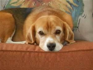 741 best Beagles images on Pinterest   Adorable animals ...