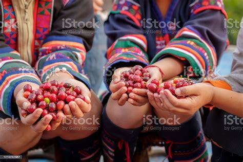 All of these post harvest images background resources are for free download on pngtree. Arabica Coffee Bean Cherries In Childrens Hand Harvesting Season In Organic Coffee Plantation ...