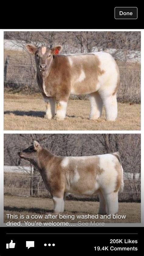 All the new series fuzzy pets makeover 38 furry pets lol. Fluffy cow | Cute funny animals, Funny animals, Tumblr funny