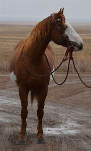 2013 Chestnut Overo Filly For Sale    Apha Paint Horses