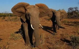 Wild African Elephants on Verge of Extinction | Al Jazeera ...