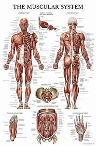 Internal Organs Of The Human Body Anatomical Chart Muscular System Anatomical Poster Laminated Muscle Anatomy