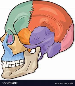 Human Skull Diagram Royalty Free Vector Image