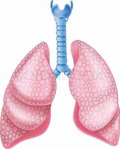 Vector Illustration Of Healthy Lungs Anatomy