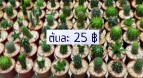 วิธีเลือกซื้อแคคตัส - cactus cacti | ข้อมูลกระบองเพชร ไม้ ...