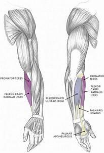 Anatomy Of Left Arm