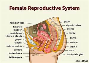 U0026quot Education Chart Of Biology For Female Reproductive System