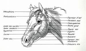 Muscle Structure Of A Horse