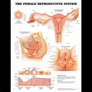 Female Anatomy Charts