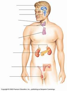 Endocrine System Diagram Unlabeled