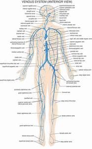Squids Whole Body Diagram
