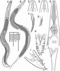 Adult Male And Hermaphrodite Of A  Freiburgensis N  Gen