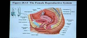 Male Reproductive System Diagram Se1