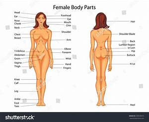 Medical Education Chart Biology Female Body Stock Vector