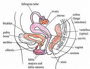 Female Reproductive System Diagram