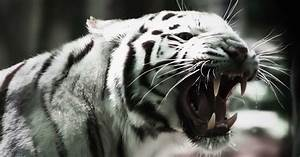 Angry White Tiger | Full HD Desktop Wallpapers 1080p
