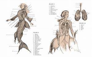 Anatomy Of A Mermaid  U201cmermaid Anatomy