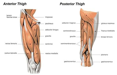 Here you can explore hq leg muscle transparent illustrations, icons and clipart with filter setting like polish your personal project or design with these leg muscle transparent png images, make it even. muscle diagram of leg - Google Search(이미지 포함)