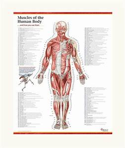 Trail Guide To The Body U0026 39 S Muscles Of The Human Body Poster