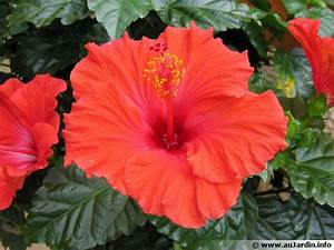 Taille De L Hibiscus : quand tailler hibiscus top quand tailler un citronnier ~ Melissatoandfro.com Idées de Décoration