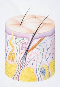 Diagram Illustrating The Two Layers Of Human Skin