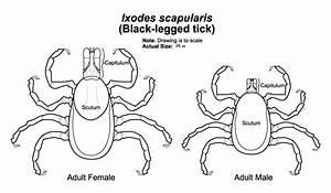 Labelled Diagram Of A Tick Flea Anatomy Diagram