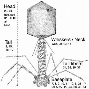 Bacteriophage T4 Genome