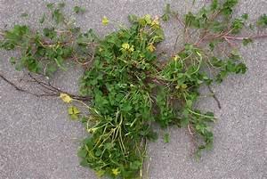 Master Program Common Weeds In The Galveston Houston Region