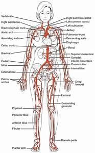 Female Body Anatomy Diagram   Female Body Anatomy Diagram