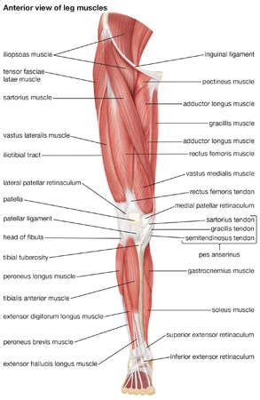 The leg muscles are organized in 3 groups: Leg Muscles Diagram and the Cure!