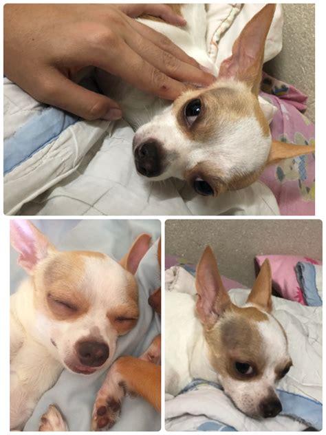 น้องหมาขอบตาและบริเวณหัวมีสีออกน้ำตาลชมพู แต่มาช่วงหลัง ...