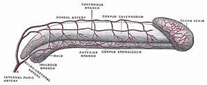 Artery Of The Urethral Bulb