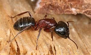 Ameisen Entfernen Garten : ameisen wikipedia ~ Lizthompson.info Haus und Dekorationen