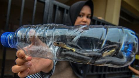 Letak astronomis dan letak geografis tidak memiliki pengaruh apapun pada kondisi cuaca dan iklim di indonesia. Ciri-ciri Ular Berbisa yang Masuki Masa Bereproduksi di Musim Hujan - Suara Surabaya