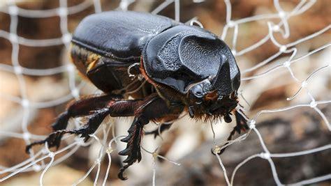 Study: Snakes helped big rhino beetle invade Guam