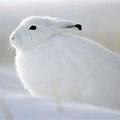 Snow Bunny's